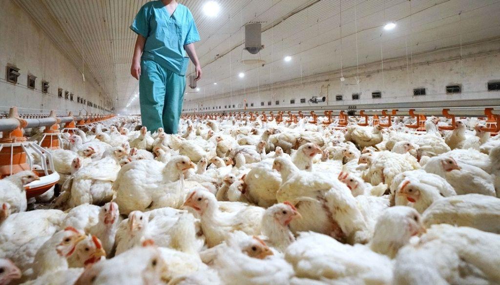 Detectan primer caso de gripe aviar H5N8 en humanos ¿Debe preocupar?